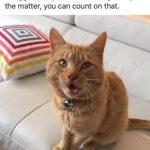 nugget cats animalamourpsu animalamour meow